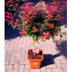 Rosmarino aromatic color pianta aromatica