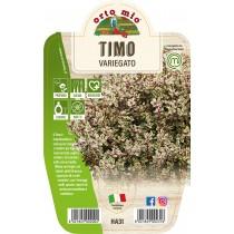 Pianta Timo variegato V14 Orto Mio