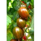 Pianta pomodoro Orto Mio varietà Crispino Zebrino