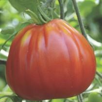 Pianta pomodoro Orto Mio varietà Cuore Ligure