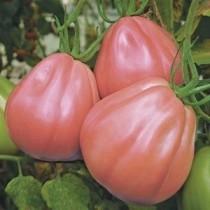 vPianta pomodoro Orto Mio varietà Cuore Ligure Rosa