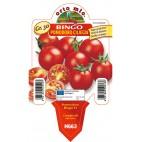 Pianta pomodoro ciliegino Orto Mio varietà Bingo