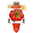 Pianta pomodoro Orto Mio varietà Marmande