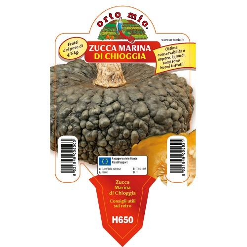 Pianta zucca marina di Chioggia Orto Mio