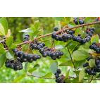 Aronia arbustifolia