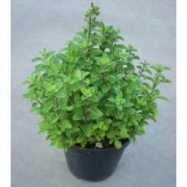 Maggiorana pianta aromatica