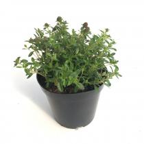 Santoreggia pianta aromatica
