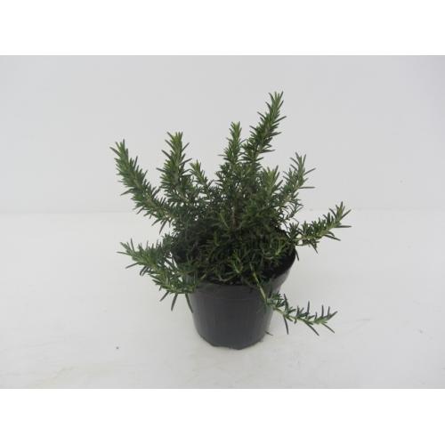 Piante aromatiche rosmarino vaso 14
