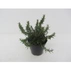 Rosmarino pianta aromatica