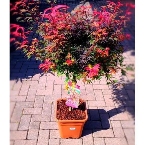 Pianta di acero palmatum rosso giapponese varietà Shaina